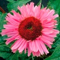 Echinacea Fancy Frills