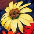 Echinaccea Sunsrise
